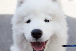 Smiling Samoyed Face