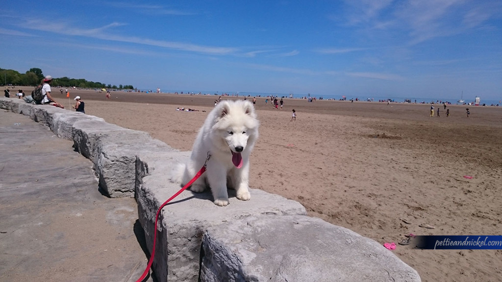samoyed puppy chilling on beach