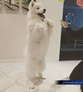 Ellie_StandingSamoyed
