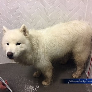 Ellie the Samoyed getting washed